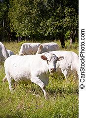 blanc, vache