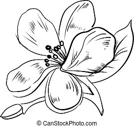 blanc, vecteur, jasmin, illustration, arrière-plan., croquis