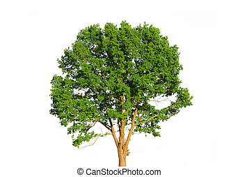 blanc vert, arbre, isolé