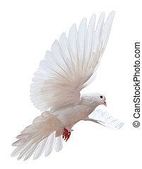 blanc, voler, colombe, isolé, gratuite