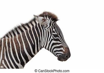 blanc, zebra, isolé