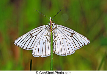 blanching butterfly on green background