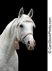 blanco, árabe, caballo, aislado