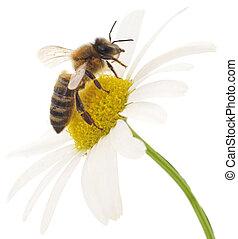 blanco, abeja, flor