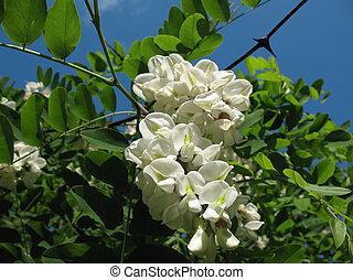 blanco, acacia, (robinia, plano de fondo, pseudoacacia).