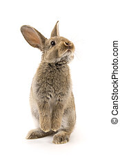 blanco, adorable, aislado, conejo