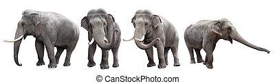 blanco, aislado, colección, elefantes