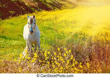 blanco, andalusian, caballo, es, posición, en, el, pradera, durante, ocaso