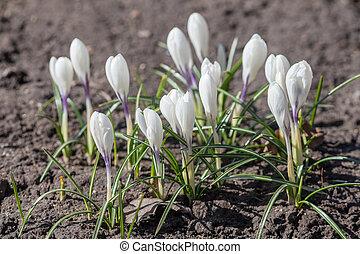 blanco, azafranes, en, el, primavera