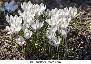 blanco, azafranes, en, primavera