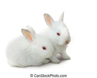 blanco, bebé, conejos