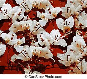 blanco, bougainvillea, en, rojo, pared pintada