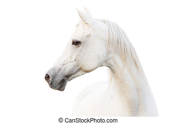 blanco, caballo árabe
