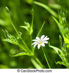 blanco, camomila, en, hierba verde