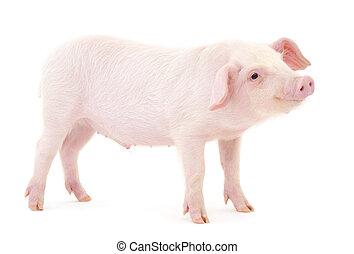 blanco, cerdo