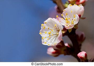 blanco, cereza, flores