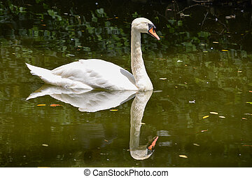 blanco, cisne