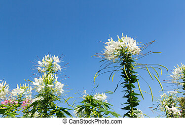 blanco, cleome, flores, en, cielo, plano de fondo
