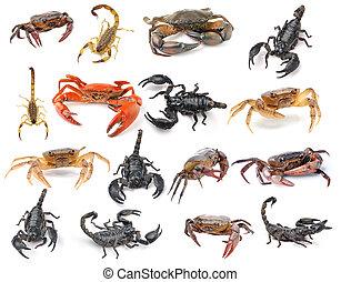 blanco, escorpión, aislado, plano de fondo, cangrejo