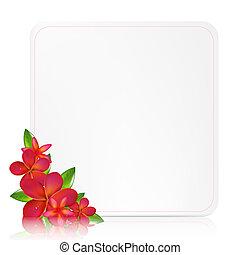 blanco, etiqueta de obsequio, con, rosa, frangipani