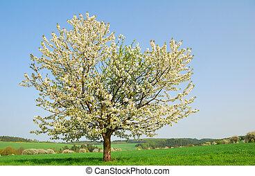 blanco, florecer, cerezo, en, primavera