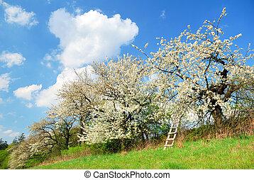 blanco, florecer, manzana, árboles, en, primavera