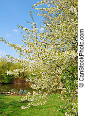 blanco, florecer, manzano, en, primavera