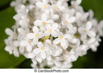 blanco, flores del resorte