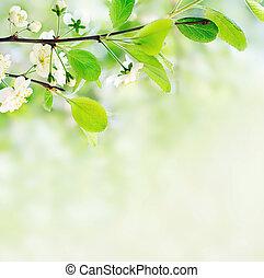 blanco, flores del resorte, en, un, rama de árbol