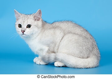 blanco, gatito, en, fondo azul