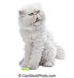 blanco, gato persa