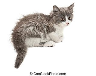 blanco, gris, gatito