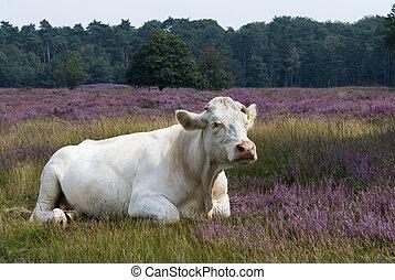 blanco, heathland, vaca