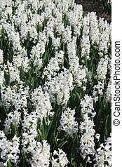 blanco, hyacints, en, un, campo
