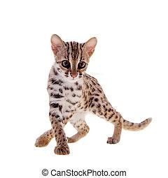blanco, leopardo, asiático, gato