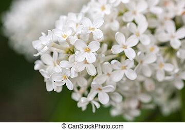 blanco, lila, en, el, primavera