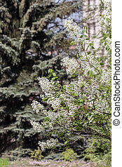 blanco, lila, en, el, primavera, jardín