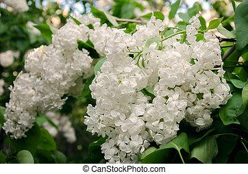 blanco, lila, en, primavera
