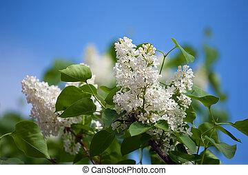 blanco, lila, rama, en, primavera