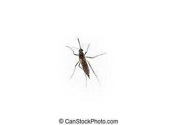 blanco, mosquito, plano de fondo, aislado