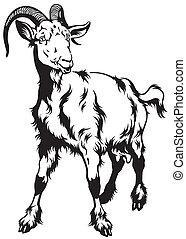 blanco, negro,  goat