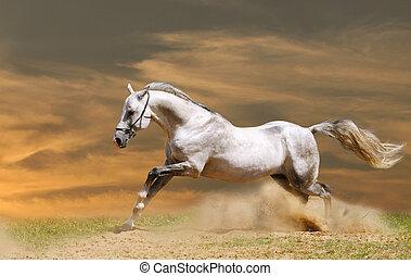 blanco, ocaso, caballo