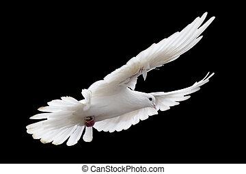 blanco, paloma