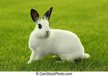 blanco, pasto o césped, conejo conejito, aire libre
