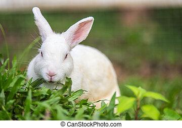 blanco, pasto o césped, verde, conejo