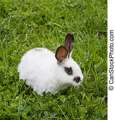 blanco, pasto o césped, verde, conejo, vista
