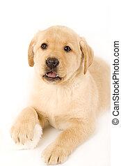 blanco, perrito, labrador, plano de fondo
