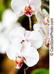 blanco, phalaenopsis, orquídea