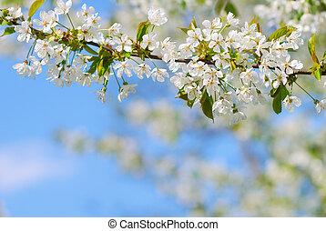 blanco, rama de árbol, primavera, florecer