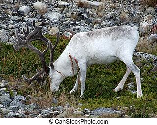 blanco, reno
